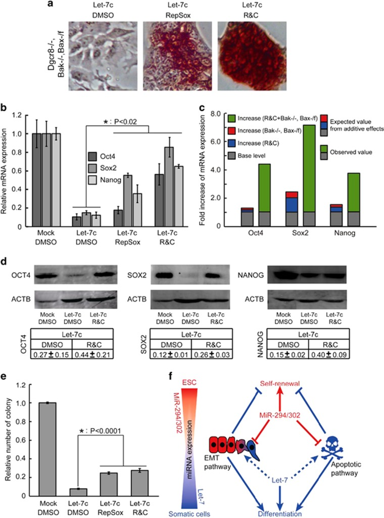 Combined suppression of the EMT and apoptotic pathways synergistically promotes ESC self-renewal. ( a ) AP staining of let-7c-transfected Bak− / − , Bax-/flox , Dgcr8−/− ESCs treated with dimethyl sulfoxide (DMSO), RepSox, or RepSox plus CHIR (R C). ( b ) qRT-PCR analysis of pluripotency markers in let-7c-transfected Bak− / − , Bax-/flox , Dgcr8−/− ESCs treated with DMSO, RepSox, or R C. β -Actin gene was used as a control. For each gene, data were normalized to mock-transfected Bak− / − , Bax-/flox , Dgcr8−/− ESCs treated with DMSO. Shown are mean±S.D., n =3. ( c ) Evaluation of synergy between suppression of the EMT pathway and suppression of the apoptotic pathway in promoting the expression of Oct4, Sox2, and Nanog. In all cases, the measured value was at least twofold greater than the value expected from additive effects. ( d ) Western blotting analysis of OCT4, SOX2, and NANOG. Representative gels are shown. Data were first normalized to actin and then to mock-transfected Bak− / − , Bax-/flox , Dgcr8−/− ESCs treated with DMSO. Shown are mean±range. n =2. ( e ) Colony-formation assays. Data were normalized to mock-transfected Bak− / − , Bax-/flox , Dgcr8−/− ESCs treated with DMSO. Shown are mean±S.D., n =3. ( f ) Graphic model of the opposing functions of miR-294/302 and let-7 in regulating ESC self-renewal through antagonistically regulating the EMT and apoptotic pathways