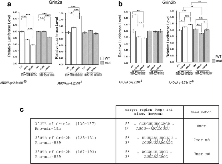 a . Validation of the Grin2a mRNA 3′UTR as a miR-19a target: relative Grin2a mRNA 3′UTR luciferase levels with 50 nM or 100 nM of miR-19a mimic measured 24 hrs after transfection (Mut., mutant UTR with a 3 bp mutation of the miR-19a target site; Ctrl, values obtained with the mirVana miRNA mimic Control) and relative Grin2a mRNA 3′UTR luciferase levels 24 h after transfection with an anti-miR-19a (concentrations of 50 nM and 100 nM) (Ctrl, transfection with a LNA Inhibitor Control). b . Validation of the Grin2b mRNA 3′UTR as a miR-539 target: relative Grin2b mRNA 3′UTR luciferase levels with 100 nM or 150 nM of miR-539 mimic 24 h after transfection (the concentrations used are higher than those for miR-19a because the Grin2b mRNA 3′UTR possesses two miR-539 target sites) (Mut., mutant UTR with a 3 bp mutation of the miR-539 target site; Ctrl, values obtained with the mirVana miRNA mimic Control) and relative Grin2b mRNA 3′UTR luciferase levels 24 h after transfection with an anti-miR-539 (concentrations of 100 nM and 150 nM) (Ctrl, transfection with a LNA Inhibitor Control). c . miR-19a and miR-539 binding sequences in the 3′UTR of Grin2a and Grin2b respectively, and the corresponding seed matches