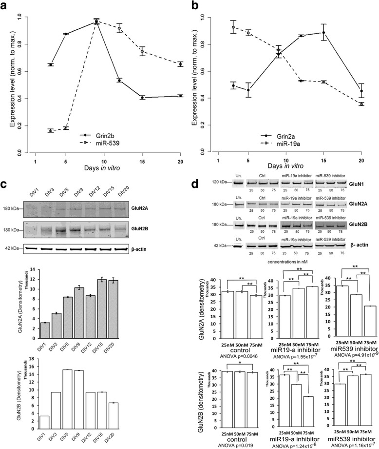 a , b . Relative mRNA levels obtained for Grin2a and Grin2b in rat hippocampal cultures . RNA was extracted between DIV3 (Day In Vitro 3) and DIV20. The values represented are normalized to GAPDH by SYBR qRT-PCR. The expression of their corresponding miRNAs (miR-19a and miR-539) are also represented and normalized to U6. c . Protein expression obtained for GluN2A, GluN2B and the loading control β-actin by Western-Blot. d . Expression of the GluN2A and GluN2B proteins after miRNA inhibitor treatment by Western blot. At DIV8, the rat hippocampal neurons were treated with 25 nM, 50 nM or 75 nM of miR-19a, miR-539 inhibitors, with a control (Ctrl) or untreated (Un.).Data in histograms were quantified with Image J software (n = 3). The values for the protein levels are normalized to β-actin