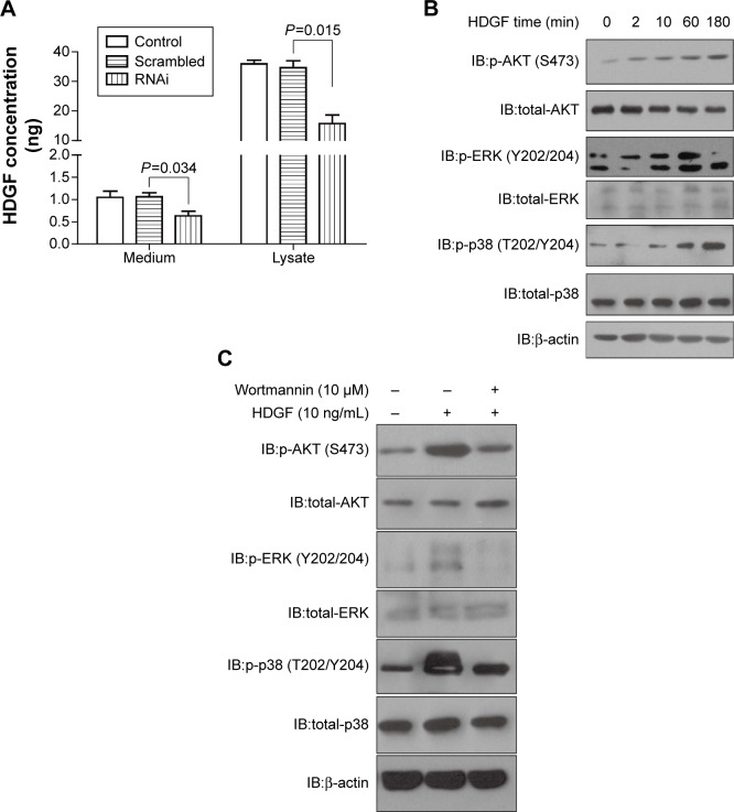HDGF could stimulate AKT and MAPK signaling pathway. Notes: ( A ) HDGF concentration in medium and cell lysate of U2-OS was detected with ELISA method 48 hours after transfection with scrambled RNA, HDGF siRNA, or Lipofectamine 2000. ( B ) Recombinant HDGF effect on phosphorylation of AKT, ERK, and p38 in U2-OS cells. U2-OS cells were stimulated with 10 µg/mL HDGF for 0 to 180 minutes, then lysed and detected by primary antibodies of AKT, p-AKT-Ser473, ERK, p-ERK-Thr202/Tyr204, p38, p-p38-Thr180/Tyr182, and β-actin. ( C ) AKT inhibitor wortmannin was able to decrease HDGF-induced phosphorylation of AKT/ERK/p38. U2-OS cells were pre-incubated in 10 µM wortmannin for 30 minutes and then stimulated in recombinant HDGF for 30 minutes. Immunoblotting was used to detect the phosphorylation of AKT/ERK/p38. Abbreviations: ELISA, enzyme-linked immunosorbent assay; IB, immunoblotting; HDGF, hepatoma-derived growth factor; OS, osteosarcoma.