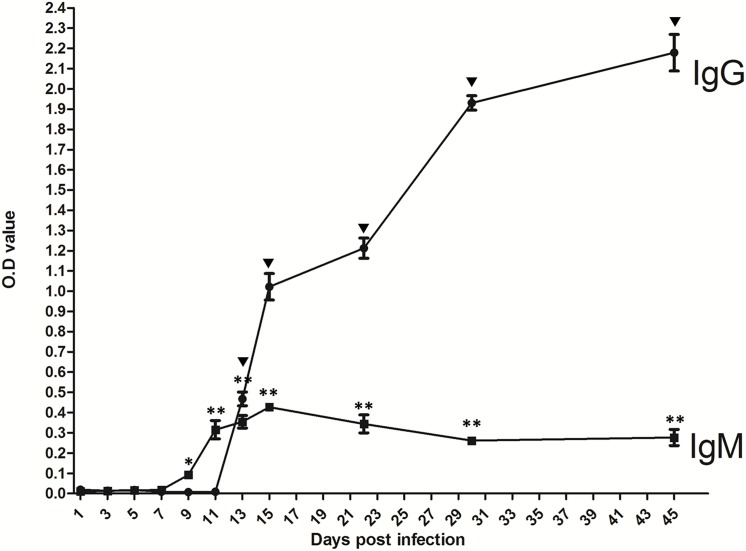 Dynamics of humoral responses in mice after orally infected with T . gondii cysts. Detection of T . gondii -specific <t>IgG</t> (A) and <t>IgM</t> (B) in the serum of BALB/c mice (n = 3) infected with four cysts at 1, 3, 5, 7, 9, 11, 13, 15, 22, 30, 45 dpi with ELISA. Results are expressed as mean of the OD 450/630 ± S.D. Inverted black triangle p