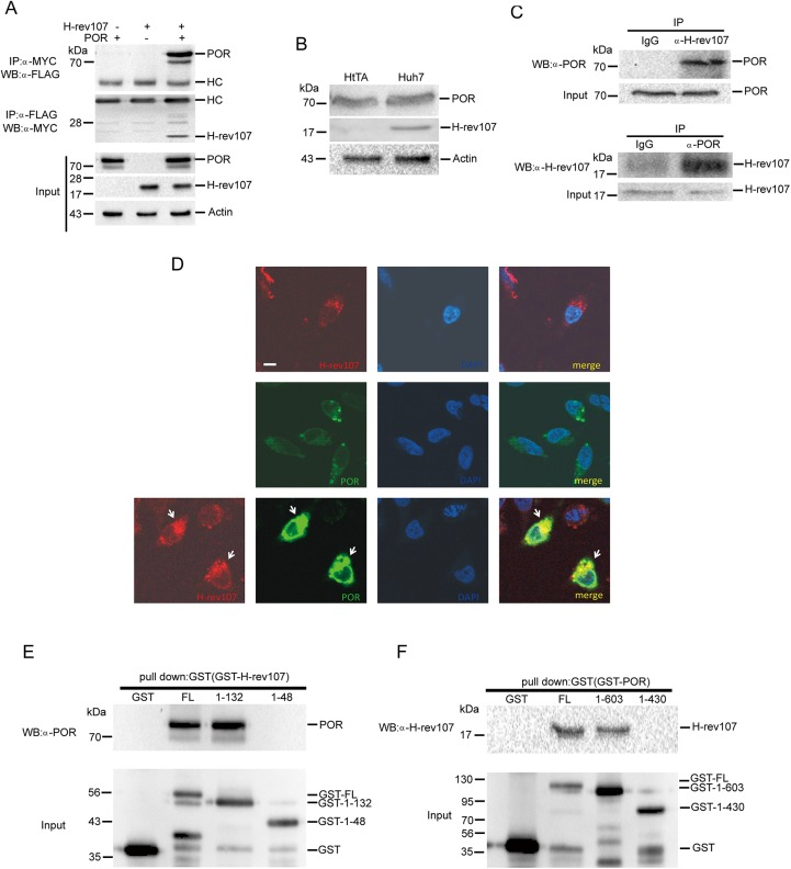 H-rev107 associates and co-localizes with POR. HtTA cells plated in a 10-cm dish were transfected with H-rev107-myc and POR-Flag expression vector for 24 h. The cell lysates were prepared, and the interaction between H-rev107 and POR was analyzed by immunoprecipitation followed by western blot analysis. Immunoprecipitates were resolved by SDS-PAGE and immunoblotted using the anti-Flag antibody or anti-myc antibody (A). Total cellular extracts from HtTA or Huh7 cells were subjected to western blot analysis for H-rev107, POR, and actin (B). Huh7 cell lysates were prepared, and the interaction between H-rev107 and POR was analyzed by immunoprecipitation using anti-H-rev107- or POR-specific antibodies, respectively, followed by western blot analysis (C). HtTA cells were cotransfected with GFP-POR and H-rev107 expression vectors for 18 h. The cells were fixed and then incubated with anti-myc antibody followed by Alexa fluor 633 anti-mouse IgG antibody. The localization of H-rev107 (red), POR (green), and nuclei (blue) were analyzed using a laser scanning confocal microscope. Yellow fluorescence (arrows) evident in the merged images indicates co-localization of the H-rev107 and POR (D). The GST-tagged fusion proteins of H-rev107 (E) or POR (F) were purified, and the interaction between H-107 and POR was analyzed by GST pull down followed by Western blot analysis. Scale bar: 10 μm.