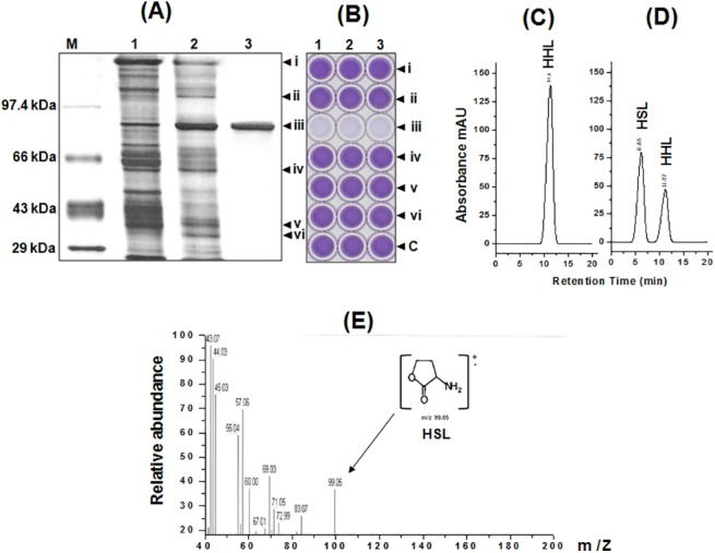 Characterization of AHL-acylase of Delftia sp. VM4. (A) Silver stained 12% SDS-PAGE during purification of AHL acylase from Delftia sp. VM4. Lane: M, PMWH- protein marker; 1, ammonium sulphate precipitates; 2, eluate from DEAE-sepharose column; 3, eluate from Sephadex column. (B) Microtitre plate assay for the AHL degrading activity with 0.05 mM HHL of the renatured gel slices (bands i-vi) from the SDS-PAGE was assayed using C . violaceum CV026 biosensor based bioassay. HHL (0.05 mM) was loaded as the control (well-c). HPLC profile of (C) HHL without purified AHL acylase, (D) HHL degradation by purified AHL acylase, (E) EI-MS analysis of degraded product (HSL) from HHL.