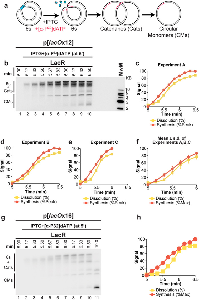 The rate of total DNA synthesis does not slow before dissolution (A–C) To further test whether replication stalls or slows prior to dissolution, p[ lacO x12] was pre-incubated with LacR and replicated in Xenopus egg extracts. Termination was then induced by addition of IPTG after 5 minutes. Simultaneously, [α- 32 P]dATP was added to specifically radiolabel DNA synthesized following IPTG addition (A). Radiolabelled DNA was then separated on a native agarose gel and total signal was measured by autoradiography (B). Tota l signal was quantified, normalized to peak signal, and graphed alongside the rate of dissolution, which was also measured in the same experiment (C). This approach gives a highly sensitive measure of DNA synthesis without manipulation of DNA samples. DNA synthesis should occur primarily within the lacO array (see Extended Data Fig. 1 ). Upon IPTG addition, there was an approximately linear increase in signal, which plateaued by 5.83 min. Importantly, dissolution was 65% complete by 5.83 min. Therefore, the large majority of dissolution occurs without stalling of DNA synthesis. (D–E) Experimental repeats of (B–C) (F) The experiments shown in (C–E) were graphed together with mean±s.d. Synthesis data was normalized so that for each experiment, synthesis at 1 min was assigned a value of 84.4%, since this was the average value from (C–D), where synthesis was allowed to plateau. Given the rate of replication fork progression in these egg extracts (260 bp/minute 32 ) and the size of the array (365 bp), forks should require, on average, 0.7 minutes to converge if no stalling occurs (365 bp ÷ 2 ÷ 260 bp/min = 0.7 min). The time required for dissolution was not appreciably longer than this (dissolution was 50% complete by 0.67 min after IPTG addition, (F)), consistent with a lack of stalling. (G–H) The experiment shown in (B–C) was repeated using p[ lacO x16]. Synthesis was approximately linear until 6.17 minutes, at which point 81% of molecules had dissolved, 