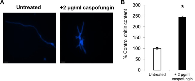 Treatment with caspofungin leads to a compensatory increase in chitin content in A. fumigatus . The wild-type strain was grown at 37°C for 12 h in RPMI 1640 in the presence and absence of 2 μg/ml caspofungin. (A) CFW-stained fluorescent images; scale bars are 10 μm. (B) Cell wall chitin assays were performed three times on three biologically independent samples (average ± standard deviation [SD], n = 9). The asterisk indicates significant difference ( P