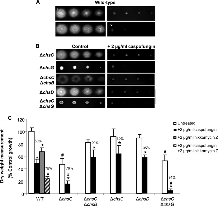 Disruption of AfCHSG leads to hypersensitivity to caspofungin. (A) Plate dilution sensitivity tests of the A. fumigatus wild-type strain on RPMI 1640 agar alone (i) or supplemented with 2 μg/ml caspofungin (ii), 2 μg/ml nikkomycin Z (iii), or a combination (iv). (B) The Δ Afchs mutants were grown on RPMI 1640 agar with or without 2 μg/ml caspofungin. Plates were incubated for 48 h at 37°C. Spore numbers per spot are 5,000, 500, 50, and 5 spores, from left to right. (C) Dry weights of wild-type and Δ Afchs mutants were determined after 24 h growth in RPMI 1640 broth alone or supplemented with 2 μg/ml caspofungin. The wild-type strain was also treated with 2 μg/ml nikkomycin Z alone and in combination with caspofungin. Error bars are SD ( n = 3, from three independent experiments). Asterisks indicate significant differences ( P