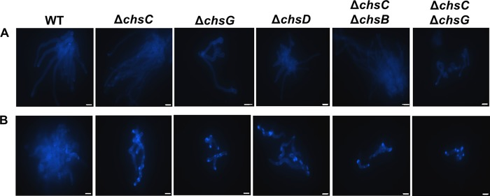 Treatment with CaCl 2 and CFW leads to an increase in chitin synthesis in Δ Afchs mutants of A. fumigatus . CFW-stained fluorescent images of the wild-type strain and Δ Afchs mutants in Sabdex broth alone (A) or supplemented with 200 mM CaCl 2 and 100 μg/ml CFW (B) after 12 h at 37°C. Scale bars = 10 μm.