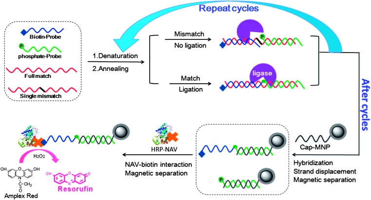 Schematic illustration of our strategy for specific SNP DNA detection. A biotin-probe (blue) and a phosphate-probe (green) are hybridized to each half of a complementary DNA target, which are then ligated by the Taq DNA ligase if the sequences between the probes and target are fully complementary, but not for those having a single-base mismatch ( ca. SNP) at the nicking site. The system is then subjected to multiple cycles of denaturation, annealing and ligation, where each full-match template produces a ligated product in each cycle. A capture-DNA modified magnetic nanoparticle (note that hundreds of capture-DNA strands are linked to each MNP, only one is shown here for simplicity) was added to capture the ligated products, and followed by magnetic separation. Finally, a neutravidin conjugated horseradish peroxidase (NAV-HRP) is bound to the MNP, allowing for sensitive detection of the full-match DNA target via the HRP catalysed enzymatic assay.