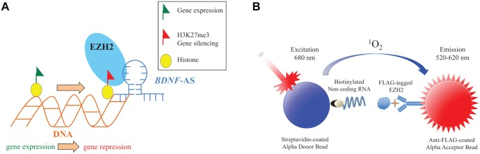 ( A ) Mechanism of the BDNF -AS–EZH2 interaction. The BDNF -AS transcript interacts with EZH2 (RNA-protein interaction), guiding this ubiquitously expressed epigenetic enzyme to the BDNF locus (RNA-chromatin interaction) where EZH2 is able to epigenetically silence BDNF gene expression. Inhibition of the BDNF -AS–EZH2 interaction can prevent EZH2 recruitment to the BDNF promoter and results in up-regulation of the BDNF gene. ( B ) Schematic of AlphaScreen adapted to quantify lncRNA-protein interactions. Following the incubation of biotinylated long noncoding RNA BDNF -AS with Flag-tagged EZH2 protein, anti-flag tagged acceptor beads and streptavidin-coated donor beads are added to each well. Upon excitation of the donor beads at 680 nm, ambient oxygen is elevated to an excited state and excites nearby acceptor beads, resulting in a measurable emission at 570 nm that is used to quantify the assay.
