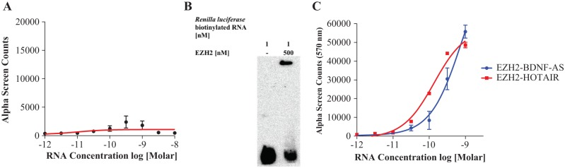 Determining negative and positive RNA controls for EZH2 interactions. EZH2 reportedly binds many RNAs without well-defined protein-binding motifs. As a negative control, a nonrelated Renilla luciferase transcript was tested that did show some affinity for the EZH2 protein in the ( A ) Alphascreen assay ( n = 3) as well as in the ( B ) RNA EMSA assay. This finding is consistent with reports of EZH2 promiscuity, including the ability of this enzyme to bind nonmammalian transcripts with low affinity. 16 ( C ) The ability of biotinylated lncRNAs BDNF -AS and HOTAIR to interact with EZH2 is measured in the AlphaScreen assay. Both lncRNAs are titrated in EZH2 (4 nM). EZH2 interacts with both lncRNAs in a concentration-dependent manner ( n = 3). HOTAIR serves as a positive RNA control and biologically important screen.