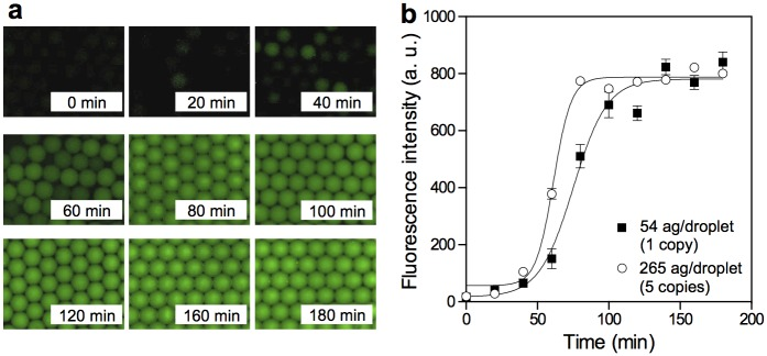 Droplet MDA of low-input lambda DNA. (a) Sequential fluorescent images of droplets encapsulating lambda DNA at a concentration of 265 ag/droplet (5 copies lambda DNA per droplet) with Evagreen dye. (b) Time-dependent appearance of the fluorescence signal during compartmentalized amplification of the denatured lambda DNA (input concentration 54 ag/droplet (1 copy lamda DNA per droplet) and 265 ag/droplet). All data are presented as averaged intensities of fluorescent positive droplets measured with SEM, and 100 droplets were analyzed at each time point.