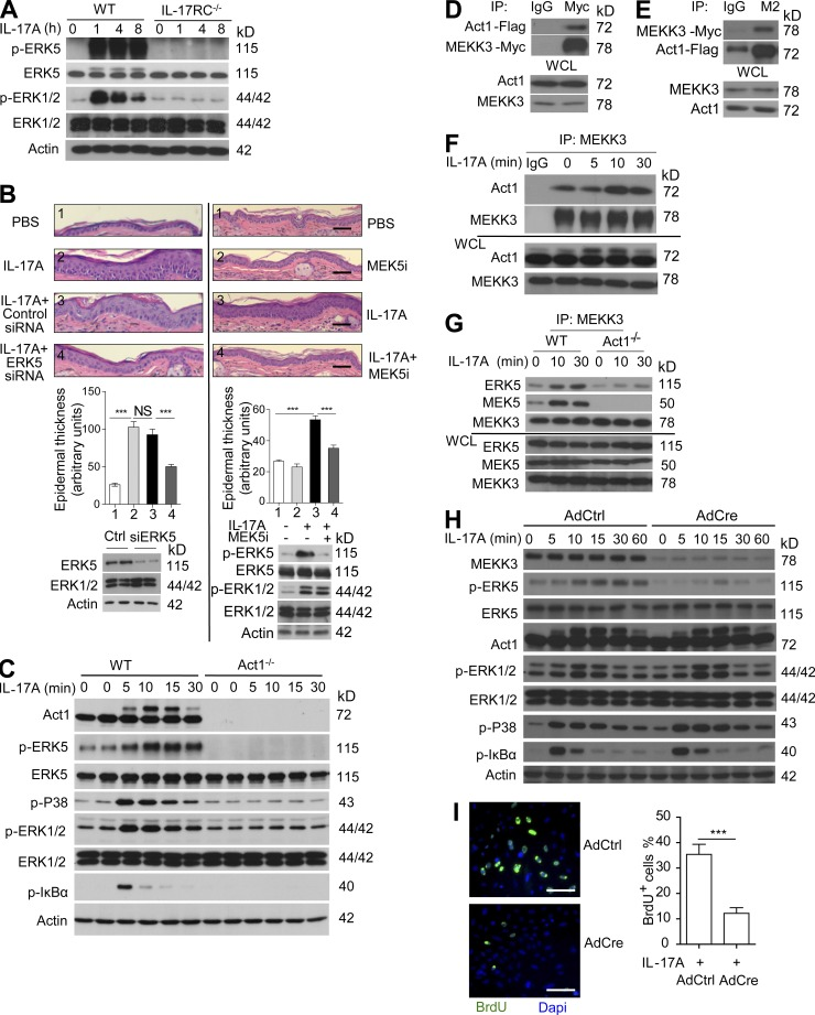 The MEKK3–ERK5 axis is critical for IL-17–induced epidermal keratinocyte proliferation. (A) Western blot analysis of epidermal lysates from ears of WT and IL-17RC −/− mice injected with IL-17A for the indicated times. (B) H E staining of ear sections of C57BL/6 WT mice injected with PBS, IL-17A in the presence or absence of ERK5 siRNA (left), or MEK5 inhibitor Bix 02189 (right). Graphs represent mean epidermal thickness (a.u.) ± SEM. ***, P