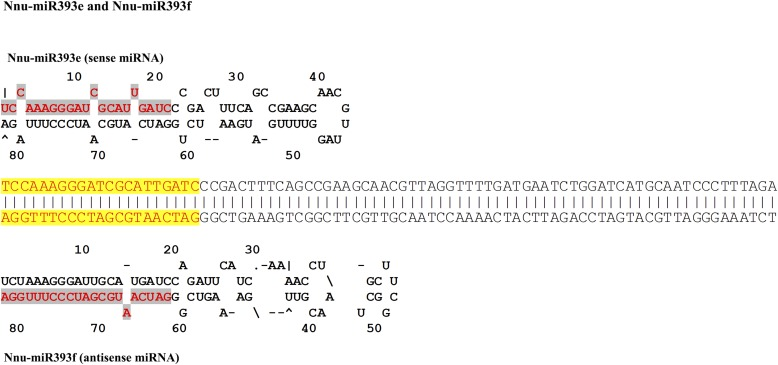 Sense and antisense miRNAs and their secondary structures in Nelumbo nucifera .