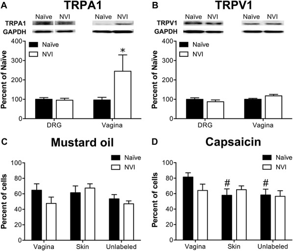 NVI increased TRPA1 protein expression in the vagina but not in primary sensory neurons innervating the vagina. (A) Representative Western blots are shown for TRPA1 and corresponding GAPDH protein expression with bands at 127 and 35 kD, respectively, in both DRG and vagina from naive and NVI mice. TRPA1 protein expression was significantly increased in vagina, but not DRG, from NVI mice compared with naive mice. (B) Representative Western blots are shown for TRPV1 and corresponding GAPDH protein expression with bands at 85 and 35 kD, respectively, in both DRG and vagina from naive and NVI mice. TRPV1 protein expression was not significantly different in NVI DRG or vagina compared with naive counterparts. Calcium imaging was performed on lumbosacral (L5-S1) DRG neurons retrogradely labeled by injection of Alexa Fluor–conjugated cholera toxin-β (CTB) into the distal vagina, 1,1′-Dioctadecyl-3,3,3′,3′-tetramethylindocarbocyanine perchlorate (DiI) into the perivaginal skin, and adjacent unlabeled DRG to measure responses to 100 μM mustard oil (MO; C) and 1 μM capsaicin (D). (C) No significant difference in functional TRPA1 expression, measured as the percentage of MO-responsive DRG neurons, was observed between naive and NVI mice for any population of DRG neurons tested. (D) Only in naive mice, DRG neurons back-labeled from the vagina were significantly more likely to respond to 1 μM capsaicin, suggesting greater functional TRPV1 expression, compared with those back-labeled from the perivaginal skin or unlabeled DRG. When compared across both agonists, vagina-specific DRG neurons from NVI mice had a significantly reduced percentage of responsive neurons compared with naive ( P