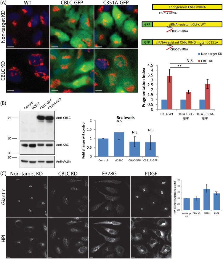 CBLC ubiquitin ligase activity is required for Golgi but not SRC levels regulation. (A) Requirement of CBLC RING domain. HeLa wild type (WT) or stably expressing siRNA-resistant-CBLC (CBLC-GFP) or siRNA-resistant-CBLC RING mutant (C351A-GFP) cells were transfected with deconvoluted CBLC-7 siRNA. Golgi stained with Giantin. Top right: Schematic diagram, exogenous CBLC contains three-point mutations at CBLC-7 siRNA-binding site. Bottom right: Fragmentation Index measured in quadruplicates on at least 400 cells per condition. Error bars show SD statistical significance (p) measured by unpaired Student's t-test. (**) represents p