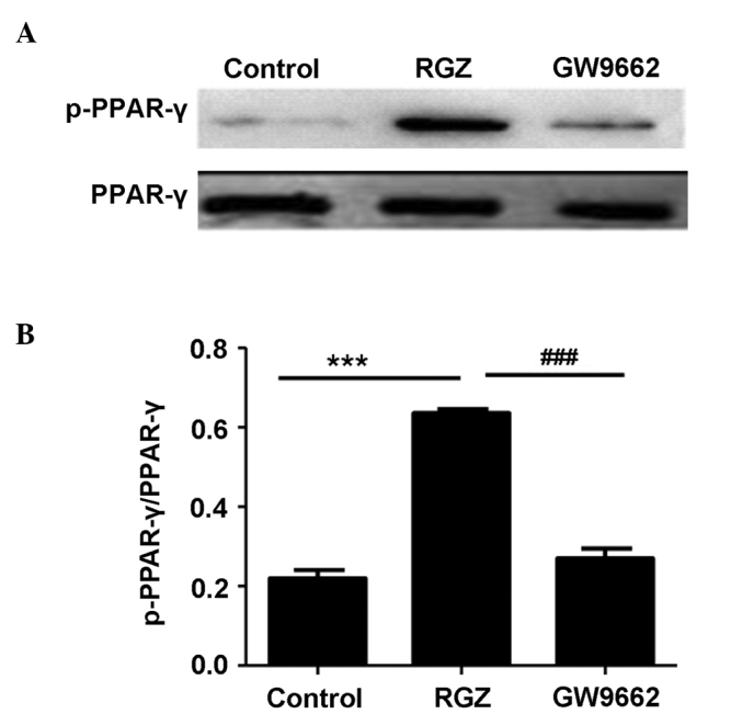 RGZ treatment promotes <t>PPAR-γ</t> activation. Western blot analysis was employed to assess PPAR-γ expression and activation by evaluating the levels of total PPAR-γ and activated PPAR-γ (p-PPAR-γ). (A) A representative result obtained by western blot analysis. (B) Semi-quantitative analysis of cells studied in each group. The relative amount of PPAR-γ and p-PPAR-γ in each group of cells was normalized by β-actin and presented as the ratio of p-PPAR-γ to PPAR-γ. ### P