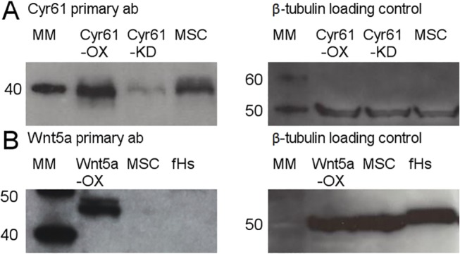 MSC construct validation. (A) Western blot analysis of the Cyr61OX MSC construct demonstrates significant over-expression of Cyr61 as compared to unmanipulated MSCs (expected molecular weight of ~40kDa). The Cyr61KD MSC construct demonstrates significantly reduced expression of Cyr61. β-tubulin loading control confirmed equivalent protein loading amongst samples. Unmanipulated MSCs were cultured in MSC Growth Media (Lonza). (B) Western blot analysis of the Wnt5aOX MSC construct demonstrates significant over-expression as compared to unmanipulated MSCs (expected molecular weight of 45kDa). The minimal expression of Wnt5a in unmanipulated MSCs is readily apparent upon longer exposure times. Protein lysate from the fibroblast cell line fHs 173We was used as a negative control compared to Wnt5a constructs. β-tubulin loading control confirmed equivalent protein loading amongst samples.