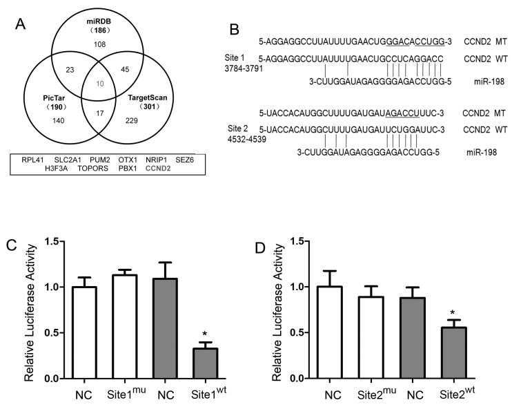MiR-198 directly bound to the 3′-UTR of CCND2 mRNA. ( A ) Bioinformatics analyses showed that 10 potential target genes of miR-198 were predicted by three different databases; ( B ) The two distinct predicted binding sites of miR-198 in the 3′-UTR of CCND2 mRNA were allocated, and the fragments containing either mutated binding site were amplified according to the mature miR-198 sequence; ( C ) In pMIR-REPORT™ vector, CCND2 mRNA 3′-UTRfragment containing either the wild type or the mutated Site 1 was fused downstream the reporter gene. When the vectors were cotransfected with miR-198 mimic or mimic control, and the relative luciferase activity, normalised by β-gal, was significantly suppressed in vector with wild type Site 1 than that with mutated Site 1 (32.80% ± 6.89%); ( D ) In the presence of wild type Site 2, not the mutated one, miR-198 was able to significantly inhibit luciferase activity although to a less extent than wild type Site 1 (55.39% ± 8.48%). (NC, negative control; WT, wide-type; MT, mutated-type. * Compared with NC, p