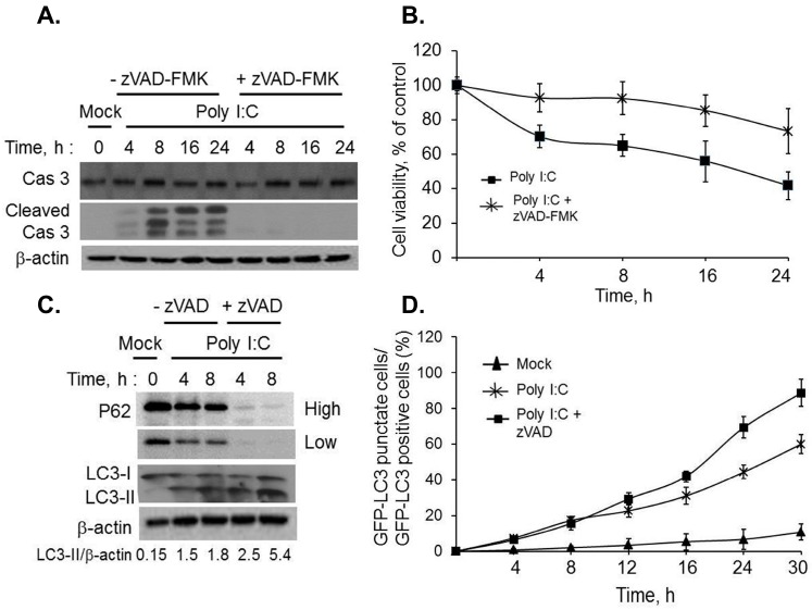 Regulation of autophagy by inhibiting dsRNA-induced apoptosis. HT1080 cells were pretreated with zVAD-FMK (20 µM) or not for 1h followed by 2 µg/mL of PolyI:C for indicated times. ( A ) Cleavage of caspase 3 was determined on immunoblots and normalized to β-actin levels; ( B ) cell viability was determined by MTT assay and normalized to control cells. Results are representative of three independent experiments performed in triplicate ± SD; ( C ) Conversion of unconjugated LC3-I to lipidated LC3-II and degradation of p62 was monitored on immunoblots and normalized to β-actin levels. Band intensity was calculated using Image J software and ratios of LC3-II/β-actin was determined. Results are representative of three independent experiments; ( D ) GFP-LC3 expressing HT1080 cells were pretreated with zVAD-FMK (20 µM) or not for 1 h followed by 2 µg/mL of PolyI:C or mock treated for indicated times. The percentage of GFP + cells showing puncta formation compared to mock treated cells was analyzed. Results shown represent mean ± SEM for three experiments and at least 100 cells were analyzed per assay.