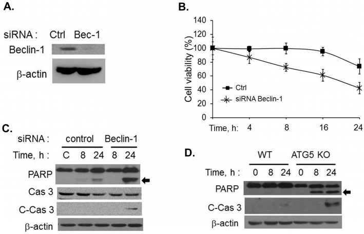 Cells lacking autophagy proteins undergo apoptosis in response to RNase L activation. ( A ) HT1080 cells were transfected with Beclin siRNAs (20 nM) or control siRNAs (20 nM) and knock down of Beclin-1 protein levels were determined on immunoblots; ( B ) Control or Beclin-1 siRNA expressing cells were transfected with 2–5A (10 µM) and cell viability was determined using MTT assay at indicated times. Results are representative of three independent experiments performed in triplicate ± SD; ( C ) Cleavage of PARP (indicated by arrow) and caspase 3 was monitored in cell lysates of 2–5A treated knock-down cells and compared to control cells. Protein levels were and normalized to β-actin; ( D ) WT or Atg5 KO MEFs were transfected with 10 µM of 2–5A for indicated times and induction of apoptosis was monitored by cleavage of PARP (indicated by arrow) and cleaved caspase 3 on immunoblots normalized to β-actin levels. Results are representative of three independent experiments.