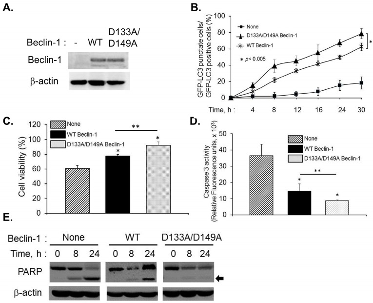 Effect of caspase-resistant Beclin-1 on autophagy and apoptosis in Beclin-1 knock down cells. ( A ) Endogenous Beclin-1 levels were knocked down using siRNA that does not target Beclin-1 cDNA and expression of RNAi-resistant Flag-Beclin-1 (WT) or RNAi and caspase-resistant Flag-Beclin-1 D133A/D149A was detected on immunoblots and normalized to β-actin levels; ( B ) Knock-in cells expressing GFP-LC3 were transfected with 2–5A (10 µM), for indicated times and the percentage of GFP + cells showing puncta formation compared to mock treated cells was analyzed. Student's t test was used to determine p values of knock-in cells expressing WT Beclin-1 compared to caspase-resistant Beclin-1. * p