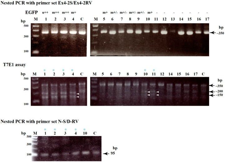 Upper panel . Production of ~350 bp products after first and nested PCR of genomic DNA initially amplified using WGA from a single blastocyst. Lanes 1 – 17 correspond to single numbered blastocysts (a part of these blastocysts is shown in Figure 2 ). The symbols above each lane indicate the fluorescence distribution type (ubiquitous (u) or mosaic (m)) and its strength (strong (++), moderate (+), slight (+/−), or none (−)); Middle panel : A T7E1-based assay for each single blastocyst. The approximately 350 bp PCR products shown in the upper panel were mixed with control (C) DNA at a ratio of 1:1, denatured, re-annealed, and then incubated with the T7E1 enzyme for 1 h at 37 °C. The resulting products were then electrophoresed in a 2% agarose gel. If samples have indel mutations, two fragments, namely ~200 and ~150 bp, were generated as cleaved products of the original ~350 bp products. The blue dots above the lanes indicate samples with mutations. Arrowheads indicate the position of cleaved bands, namely ~200 and 150 bp bands. Lanes 1 – 17 correspond to single numbered blastocysts as shown in the upper panel (except blastocyst number 13, which DNA amplification failed). Lane C indicates genomic DNA from normal PEFs used as a negative control; Lower panel : Production of 95 bp products after nested PCR of the first PCR products shown in the upper panel using primer sets N-S and D-RV (see Figure S1 and Table S1 ). Lanes 1 – 4 and 10 (all of which were identified as having mutations) correspond to single numbered blastocysts as shown in the upper and middle panels. Lane C indicates genomic DNA from normal porcine embryonic fibroblasts (PEFs) used as a positive control. M , 100 bp ladder markers.
