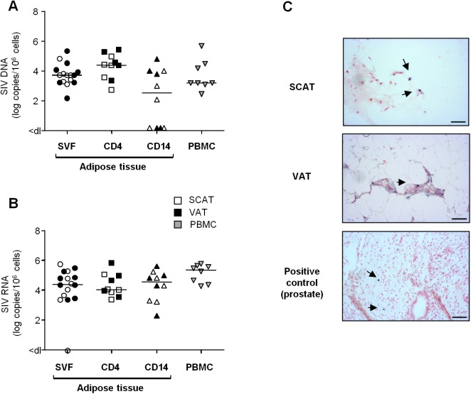 Quantification of SIV DNA and RNA in adipose tissue cells. (A, B) Quantification of SIV DNA (A) and RNA (B) was performed on SVF (n = 8), sorted adipose CD4 + T cells (CD4) or CD14-expressing cells (CD14) (n = 5) and PBMCs (n = 8) from SIV-infected animals. SIV DNA and RNA assays were performed in duplicate and the results are expressed in log SIV DNA copies per million cells. Data are quoted as the median [interquartile range]. Significant differences in a Mann-Whitney non-parametric test are shown as * p
