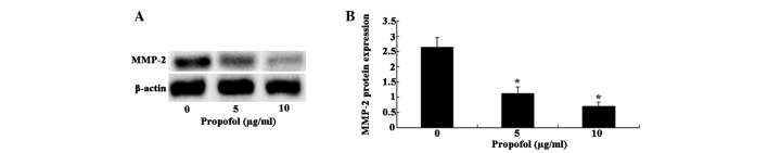 Western blot analysis showed that propofol treatment downregulated matrix metalloproteinase-2 (MMP-2) expression. (A) The protein levels of MMP-2 in U373 cells were markedly decreased following propofol treatment. (B) Statistical analysis of MMP-2 protein levels. *P
