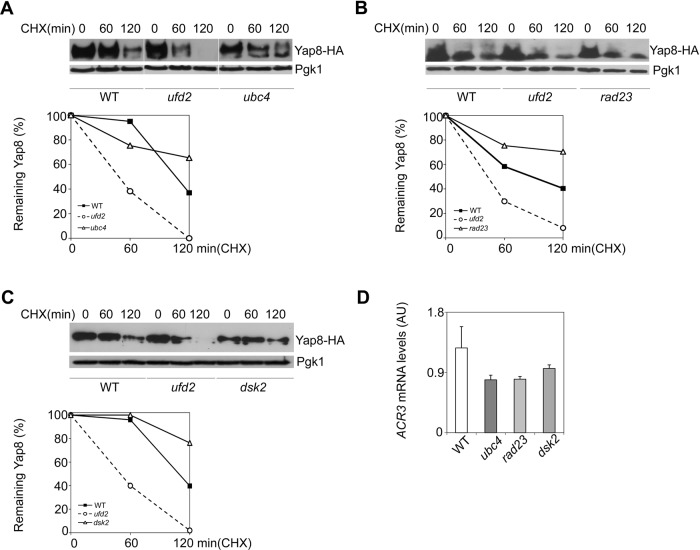 Ubiquitin proteasome pathway (UPP) enzymes Ubc4, Rad23 and Dsk2 do not interfere with Yap8 stability in arsenic-exposed cells. BY4742 wild type (WT), ubc4 (A), rad23 (B) and dsk2 (C) mutant strains expressing Yap8-HA were first exposed to 1.5 mM As(III) for 90 min, washed and subsequently treated with 0.1 mg/ml cycloheximide (CHX) up to 120 min prior to immunoblotting using anti-HA and anti-Pgk1 antibodies. The graphs represent the percentage of remaining Yap8 protein after CHX addition. Representative experiments are shown. (D) ACR3 mRNA levels remain unaltered in ubc4 , rad23 and dsk2 mutant cells. The same strains were challenged with 1.5 mM As(III) for 90 min and ACR3 mRNA levels were determined by qRT-PCR (AU, Arbitrary Units). Values represent the mean±s.d. of three biological replicates. No significant statistical differences were observed.