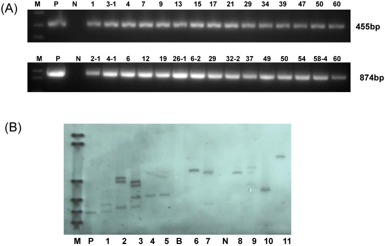 Molecular analysis for the putative transgenic cotton plants. (A) PCR analysis for HMGi1 and HMGi2 putative transgenic plants. M:Marker; N:Negative control; P: Positive control; Numbers marked above the gel indicating the corresponding T0 transgenic plants. (B) Southern blotting analysis of transgenic T0 plants. M: DNA molecular weight marker DIG-labeled (0.12-23.1 kb)(Roche, Germany); P: positive control; B: blank lane (no DNA loading); N: negative control plant DNA; Lane: 1-10 different HMGi transgenic lines.