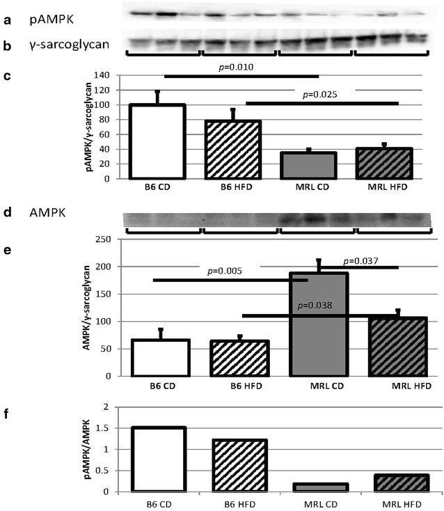 MRL hearts contain reduced amounts of pAMPK and AMPK. a Representative immunoblot of the phosphorylated α subunits of AMPK in mouse hearts. b γ-Sarcoglycan loading control. c pAMPK quantification normalized to γ-sarcoglycan and the B6 CD average (N = 15, B6 CD versus MRL CD p = 0.010, B6 HFD versus MRL HFD p = 0.025). d Representative immunoblot of the α subunits of AMPK in mouse hearts. e AMPK quantification normalized to the same γ-sarcoglycan blot as above and the CD B6 average (N = 9, B6 CD versus MRL CD p = 0.005, B6 HFD versus MRL HFD p = 0.038, MRL CD versus MRL HFD p = 0.037). f pAMPK/AMPK (N = 6)