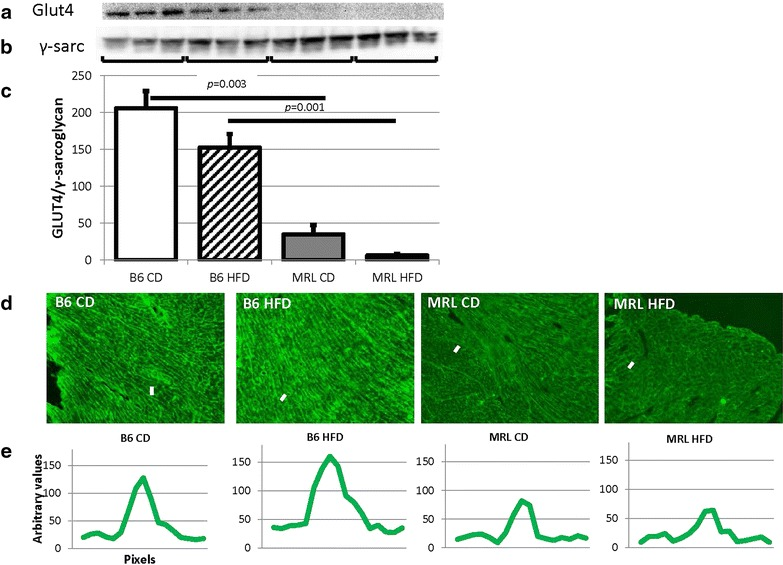 Glut4 is significantly reduced in the MRL hearts. a Representative immunoblot of Glut4 in mouse hearts. b γ-Sarcoglycan loading control. c Glut4 quantification normalized to γ-sarcoglycan (N = 9, B6 CD verses MRL CD p = 0.003, B6 HFD versus MRL HFD p = 0.001). d Representative immunofluorescence of Glut4 in the cardiac septum, original magnification ×100. e Brightness intensity of lines drawn ( white dashes in Fig. 5 d) across the plasma membranes