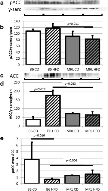 Decreased MRL cardiac ACC indicates increased fatty acid metabolism. a pACC immunoblot. b Quantification normalized to γ-sarcoglycan shows the MRL tissues have reduced pACC (N = 6, B6 HFD versus MRL HFD p = 0.011). c ACC immunoblot. d Quantification normalized to γ-sarcoglycan shows the MRL tissues have reduced ACC (N = 6, B6 HFD versus MRL HFD p = 0.033, B6 CD versus B6 HFD p = 0.013)