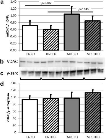 Mitochondrial differences in the two mouse strains. a The hearts from MRL mice contain increased mitochondrial genomes when normalized to nuclear DNA (N = 14, CD comparisons p = 0.002 and HFD comparisons p = 0.043). b However, quantification of VDAC immunoblots demonstrated no change in the outer mitochondrial membrane protein (N = 6). c Control to γ-sarcoglycan immunoblot. d VDAC normalized to γ-sarcoglycan (N = 6)