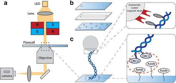Magnetic tweezers set-up for measuring on a tethered DNA molecule. a Schematic of the set-up. A LED illuminates the flow cell through a lens and the magnet holder. Imaging is done with a 50x Nikon objective onto a CCD camera. Magnets manipulate a magnetic bead attached to the DNA. b A flow cell is constructed with 24x60mm coverslips. The bottom coverslip is amine-coated and has reference beads bound to it. The top coverslip has sandblasted holes to allow fluid flow. Parafilm is used to seal the coverslips and to create a ˜50 μl flow cell volume. c Schematic of a tethered DNA molecule. A DNA molecule is linked to a <t>streptavidin-coated</t> magnetic bead with biotin, and to azide groups on the surface with DBCO at the other end