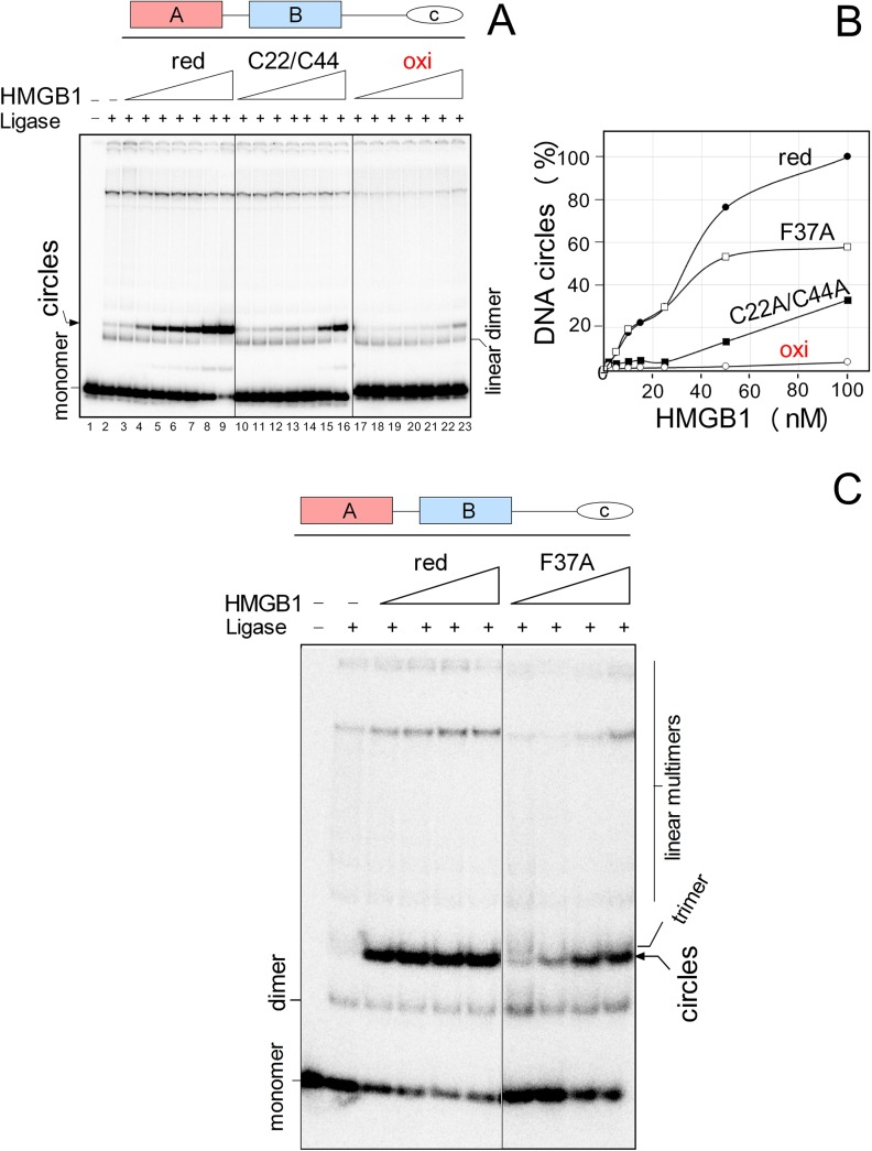The effect of oxidization and mutation of Cys22/Cys44 or Phe37 of HMGB1 on DNA bending. A , the 5´-end 32 P-labeled 123-bp DNA fragment (~1 nM) was preincubated with 2, 5, 10, 15, 25, 50 and 100 nM HMGB1 proteins ( left to right ), followed by ligation by T4 DNA ligase (DNA circularization assay). Deproteinised DNA samples were separated by electrophoresis on 5% non-denaturing polyacrylamide gels in 0.5x TBE buffer. B , percentage of DNA circles formed by reduced HMGB1, oxidized HMGB1 or HMGB1(Cys22A/Cys44A) mutant. The percentage of the minicircles formed at 100 nM HMGB1 was arbitrary set to 100% (each of the curves represent an average of three independent experiments). C , representative circularization assay using reduced HMGB1 and HMGB1(F37A) mutant (5, 20, 50 and 100 nM HMGB1, left to right ). C22/C44, HMGB1(Cys22A/Cys44A) mutant.