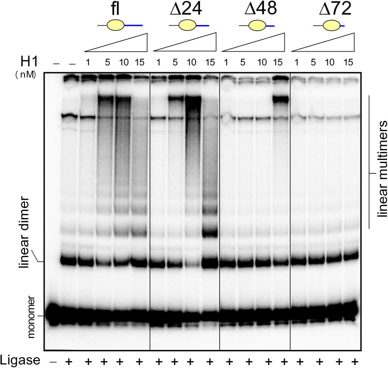 Stimulation of DNA ligation by histone H1 and deletion mutants. The 5´-end 32 P-labeled 123-bp DNA fragment (~1 nM) was pre-incubated with 1–15 nM ( left to right ) histone H1 (fl) or deletion mutants within the highly basic C-terminus, followed by ligation by <t>T4</t> DNA ligase. Deproteinised DNA samples were separated by electrophoresis on 5% non-denaturing polyacrylamide gels in 0.5x TBE buffer.