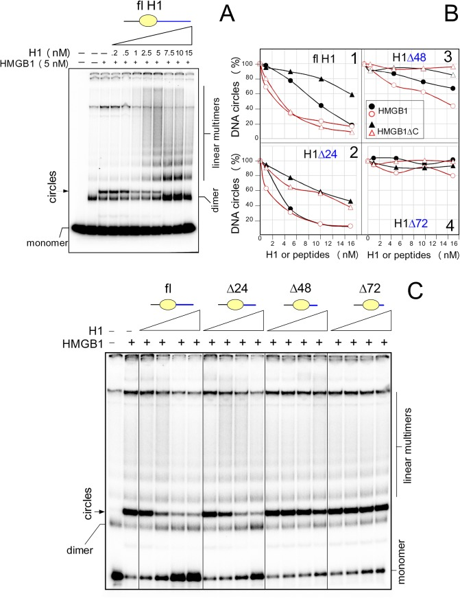 Histone H1 inhibits the ability of HMGB1 to bend DNA. A , formation of DNA circles by HMGB1 is inhibited by the full-length histone H1 (DNA circularization assay). The 5´-end 32 P-labeled 123-bp DNA fragment (~1 nM) was pre-incubated with 5 nM HMGB1, followed by titration with increasing concentrations of H1 (0.2–15 nM, left to right ) and ligation by T4 DNA ligase. Deproteinised DNA samples were separated by electrophoresis on 5% non-denaturing polyacrylamide gels in 0.5x TBE buffer. Panels B - E , DNA circularization assays in the presence of the full-length histone H1(fl) or peptides H1Δ24, H1Δ48 and H1Δ72. The percentage of DNA circles by reduced or oxidized HMGB1 or HMGB1ΔC (50 nM) in the presence of increasing concentrations of H1 or H1 peptides (1–15 nM, left to right ) is indicated. The percentage of the minicircles formed by HMGB1 or HMGB1ΔC in the absence of H1 or peptides was arbitrary set to 100%. Oxidized HMGB1 or HMGB1ΔC proteins are indicated in red.
