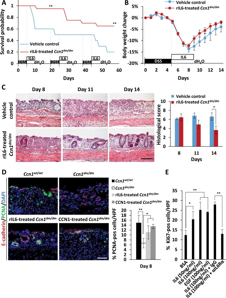 Delivery of IL-6 enhances survival and mucosal repair of Ccn1 dm/dm mice by restoring IEC proliferation (A) Ccn1 dm/dm mice ( n =20) were injected i.p. with rIL-6 (100 ng) or vehicle control daily for 5 consecutive days after each cycle of 5% DSS feeding and were monitored for survival. ** P