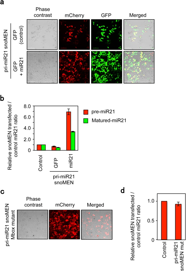 Compensatory analysis of miR21 knock-down targeted to miR21 primary transcript by snoMEN vector. ( a ) Micrographs showing rescue experiment of apoptosis induction by co-transfecting with pri-miR21-snoMEN (mCherry) and pre-miR21 expression plasmid (GFP+miR21)/Control plasmid that expresses GFP protein alone (GFP). Images were taken 72 hours followed after transfection. Scale bar is 10 μm. ( b ) RNA analysis. Total RNA from HeLa cells was harvested 24 hours after co-transfection with pri-miR21-snoMEN (mCherry) and pre-miR21 expression plasmid (miR21)/Control plasmid that express GFP protein alone (GFP) and <t>qRT-PCR</t> was performed to identify miR21 precursor molecules using miR21 precursor specific primers (pre-miR21, Red). Following cDNA synthesis, qPCR was performed using matured miR21 specific primer and universal primer provided by the PerfeCta <t>SYBR</t> Green qPCR kit (Quanta Biosciences, see also methods ) (Matured-miR21, Green). U3 snoRNA was used as a control. Graph depicts mean and standard deviation from a minimum of 3 independent experiments. ( c ) Micrographs show prevention of non-apoptosis induction by transfecting with pri-miR21-snoMEN mut, which has 3 base mismatches in each M box complementary sequence to pri-miR21. Images were taken 72 hours followed after transfection. Scale bar is 10 μm. ( d ) RNA analysis. Total RNA from HeLa cells was harvested 24 hours after transfection with either pri-miR21-snoMEN mut or Control. Following cDNA synthesis, qPCR was performed using matured miR21 specific primer and universal primer provided by the PerfeCta SYBR Green qPCR kit (Quanta Biosciences, see also methods ). U3 snoRNA was used as a control. Graph depicts mean and standard deviation from a minimum of 4 independent experiments.
