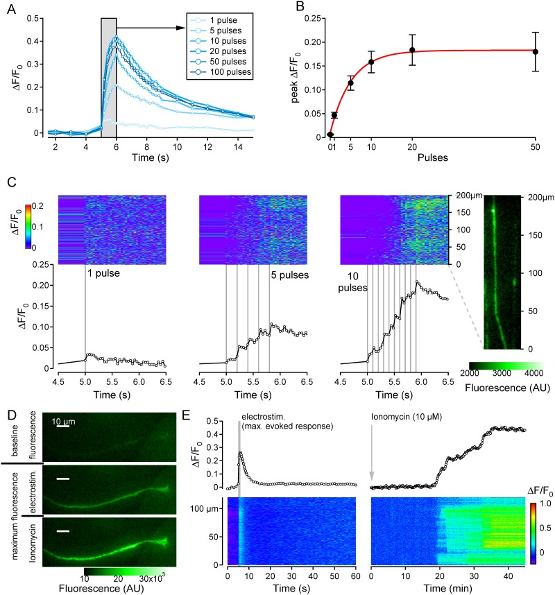 Frequency dependence of electrically-evoked calcium responses in neurites. (A) Overlay of Ca 2+ responses in a single neurite in response to sequential stimulation with 1, 5, 10, 20, 50 and 100 pulses over 1 second (grey bar). (B) Pooled data for average peak calcium response (ΔF/F 0 , black markers) as a function of stimulus frequency with an exponential regression fit (red line). Averaged data derives from recordings from 30 neurites excepting data for 0 Pulses (n = 8), 1 Pulse (n = 29) and 50 Pulses (n = 19). Spatiotemporal profile of fluorescent calcium signals along the terminal 200μm of a single neurite (rightmost inset) in response to stimulation with 1 current pulse (left panels), 5 pulses/s (centre panels) and 10 pulses/s (right panels). Fluorescent images were acquired at 25 Hz. The upper (blue) panels show fluorescence intensity coded as color along the length of the neurite (ordinate) and as a function of time (abscissa). Lower panels show the average fluorescence signal (ΔF/F 0 , open markers) determined from all pixels along the neurite ROI as a function of time. Individual electrical stimuli (1ms, 40mA) are shown as vertical grey lines. (C) (D) Fluorescence images of a neurite before (top), during electrical stimulation (centre) and during application of ionomycin (10μm) (bottom). (E) Calcium responses for the neurite in panel D as a function of time (upper) and spatiotemporally (lower) in response to electrical stimulation (20Hz, left) and ionomycin (10μM, right).