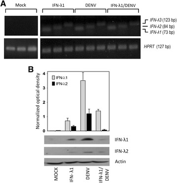 DENV-2 induces the expression of IFN-III in C33-A cells. C33-A cells were treated with IFN-λ1 (35 ng/ml) infected with DENV-2 (MOI = 0.1) or pre-treated with IFN-λ1 and subsequently infected with DENV-2. Forty-eight h post-infection, total cellular RNA was isolated and used in end-point RT-PCR for qualitative determination of the IFN-λ1, IFN-λ2, IFN-λ3 genes, using HPRT as an endogenous control gene. a Results of RT-PCR amplification of mock-infected and the three experimental conditions are shown. b Extracts of total protein from each condition were used for Western blotting to determine the presence of IFN-λ1 and IFN-λ2 proteins. Actin was the loading control. A semi quantitative analysis of detected bands normalized to actin was performed using ImageJ software ( http://rsb.info.nih.gov/ij/ )