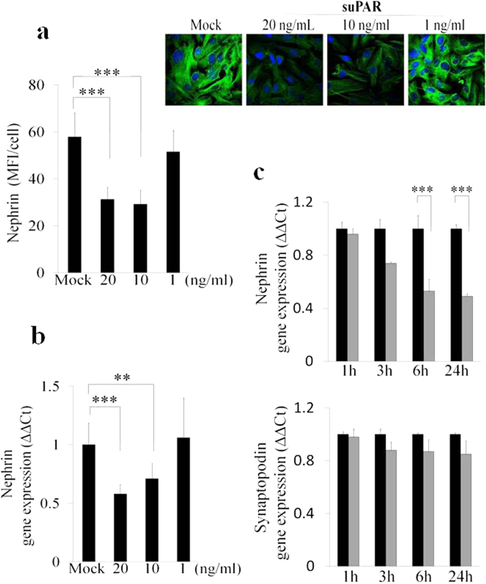 Down-modulation of nephrin expression both at protein and transcription level in CIHPs. ( a ) Quantification (left panel) of immunoflourescence staining (right upper panel) of nephrin expression in control (Mock) and CIHPs treated with different human recombinant suPAR for 24 hours (suPAR). Results are expressed as MFI/cell and represent the average of 6 experiments ±SD. DAPI staining was used to determine nuclei number. Results are expressed as MFI/cell and represent the average of 4 experiments ±SD. Right picture shows one representative immunoflourescence staining out of 4 of nephrin expression (488 Alexa Fluor) in green and nucleus (DAPI) in blue. ( b ) Dose-dependent qPCR analysis of nephrin expression in Mock and suPAR treated human podocytes by using specific human TaqMan assays. Results are expressed as relative fold change in suPAR treated cells vs Mock cells (ΔΔCt) and represent the average of 6 experiments ±SD. Values were normalized to the expression of GAPDH gene. ( c ) Time course qPCR analysis of nephrin and synaptopodin expression in Mock and suPAR treated human podocytes by using specific human TaqMan assays. Results are expressed as relative fold change in suPAR treated cells vs Mock cells (ΔΔCt) and represent the average of 6 experiments ±SD. Values were normalized to the expression of GAPDH gene. Statistical significance ( P ) is indicated by asterisks and is represented as: ***