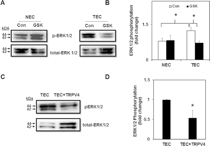 Pharmacological activation of TRPV4 decreases TEC proliferation via modulation of ERK1/2 but not AKT pathway. ( A ) Representative Western blots showing ERK1/2 phosphorylation in control and GSK treated NEC and TEC. ( B ) Densitometric analysis of the Western blots showing a decrease in ERK1/2 phosphorylation in TEC treated with GSK (100 nM). ERK1/2 phosphorylation was measured by normalizing phospho-ERK1/2 to total-ERK1/2 and was expressed as a fold change relative to NEC. ( C ) Representative Western blots depicting ERK1/2 phosphorylation TEC transfected with TRPV4-EGFP. ( D ) Densitometric analysis of the Western blots for ERK1/2 phosphorylation. ERK1/2 phosphorylation was measured by normalizing phospho-ERK1/2 to total-ERK1/2 and was expressed as a fold change relative to TEC. All the data shown is mean ± SEM from at least three independent experiments.
