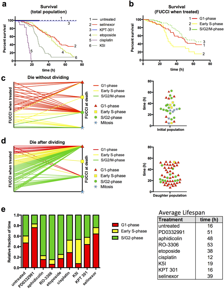 Longitudinal single cell tracking with survival analysis reveals cell cycle-associated responses of selinexor. HT1080 FUCCI cells. ( a ) Percent survival after treatment with cell cycle drugs, selinexor and controls. 100% of cells have divided by ~16 h for untreated (black) and KPT 301 treated (blueberry) cells; dashed lines represent the daughter cell population. Half of selinexor-treated cells are lost by ~55 h (maraschino) and the rate of loss is most similar to the S-phase associated drug, etoposide (honeydew); cisplatin (grape) and K5I (avocado) are comparatively very potent killers. ( b ) Survival curve for selinexor treated cells separated by FUCCI status upon treatment. Cells treated in early S-phase (yellow) die the fastest. Cells treated in late S/G2-phase (green) show little death and instead divide (dashed green line). Cells treated in G1-phase (red) and daughter cells from treated late S/G2-phase cells die at very similar rates. ( c , d ) Two-axis and violin plots for all cells that die after selinexor treatment or that die after being born into selinexor. Two-axis plots show FUCCI status upon treatment on the left axis and upon death on the right. Violin plot shows timing of death and FUCCI status (red triangle for G1-phase, yellow square for early S-phase, green circle for S/G2-phase, and blue star for mitosis) upon death. For ( d ) the FUCCI status of parent cells upon treatment are on the left axis and FUCCI status of daughter cells upon death on the right –84% of cells that die after dividing in selinexor, die in G1-phase (~84%). ( e ) Continuously tracked cells to obtain fraction of time spent in each FUCCI stage for each condition and table indicating the average life-span of cells for each condition; selinexor treated cells live 42 h on average, and spend increased time in G1-phase in particular (see Table 1 ). Supplementary videos S15-18 online. Cell numbers scored: ( a – d ) untreated, 42, selinexor, 376, KPT 301, 47, etoposide, 84, cisplatin,