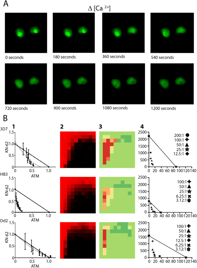 Disruption of calcium homeostasis and alteration of mitochondrial potential for selected drugs and drug pairs. ( A ) Time lapsed capture of calcium dependent Fura −2 fluorescence for two live side-by-side intraerythrocytic strain Dd2 parasites showing rapid loss of digestive vacuole (D.V.) Ca 2+ (bright green inner circle, top panels) upon perfusion with cytocidal (2 × LD 50 ) dose of CQ (see methods). ( B ) Examination of the combination responses of KN-62 and Artemether (ATM) in three parasite lines via an isobologram analysis of the mitochondrial membrane potential as judged by a combination <t>JC1</t> assay (panel 1), heatmap analysis of the viability combination response (10 × 10 matrix) (panel 2), Delta Bliss analysis (panel 3), and isobolographic analysis of the viability combination response (panel 4).