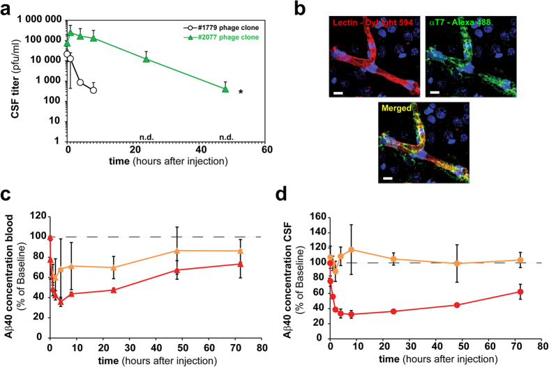 Lead transport peptide enhances brain BACE1 peptide inhibitory activity. ( a ) Long term CSF pharmacokinetic profiles shown for the clonally injected (2 × 10 10 phages/animal) T7 phage displayed #2077 (RLSSVDSDLSGC) peptide and the insert-less control phage (#1779) in at least three CM cannulated rats each. ( b ) Confocal microscopic image of a representative cortex microvessel in a rat i.v. injected with phage (2 × 10 10 phages/animal) displaying the #2077 peptide and a vascular counterstaining (lectin). Indicated phage clones were injected into 3 rats and allowed to circulate for 1 hour before perfusion. The brain sectioned and stained with a polyclonal FITC labeled antibody against the T7 phage capsid. 10 minutes before perfusion and subsequent fixation DyLight594 labeled lectin was i.v. injected. Fluorescence images showing lectin (red) stained luminal side of the microvessel and the phage (green) in the capillary lumen and the perivascular brain tissue. Scale bar corresponds to 10 μm. ( c,d ) A biotinylated BACE1 inhibitory peptide alone or in combination with the biotinylated #2077 transport peptide was attached to streptavidin and subsequently i.v. injected (10 mg streptavidin/kg) in at least three CM cannulated rats each. BACE1 peptide inhibitor mediated Aβ40 reduction was measured by an Aβ1-40 ELISA in blood (red) and CSF (orange) at the indicated time points. For better visibility, a dashed line at 100% was drawn in the graphs. ( c ) The percentage blood (red triangles) and CSF (orange triangles) Aβ40 reduction in rats injected with streptavidin attached to the #2077 transport peptide and the BACE1 inhibitor peptide at a 3:1 ratio. ( d ) The percentage blood (red circles) and CSF (orange circles) Aβ40 reduction in rats injected with streptavidin attached with only BACE1 inhibitor peptides. The Aβ concentration for the control was 420 pg/ml (Std. deviation = 101 pg/ml).