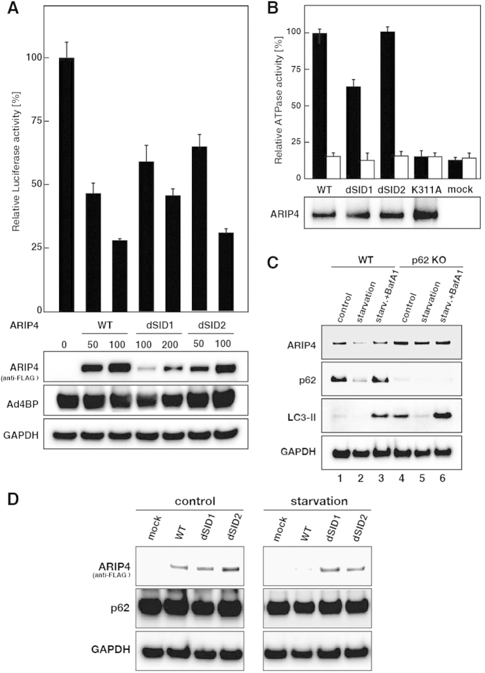 Effects of p62 on ARIP4 function. ( A ) Interaction between p62 and ARIP4 governs Ad4BP-mediated repression activity of the target promoter. HEK293 cells were transiently transfected with the luciferase reporter gene ( StAR -Luc), Ad4BP/SF-1, and the indicated amounts (ng) of ARIP4 wild-type (WT) or ARIP4 mutants carrying an internal deletion (dSID1 or dSID2). The relative luciferase activity is shown: the amount of Ad4BP/SF-1 activation without ARIP4 expression was set at 100%. The lower panels represent ARIP4 wild-type and mutant protein levels, determined using an anti-FLAG M2 antibody. The control for the efficiency of transfection (Ad4BP/SF-1) and the loading control (GAPDH) are shown in separate panels. ( B ) The ATPase activity of ARIP4 does not modulate the p62-binding domain, SID. FLAG-tagged ARIP4 was expressed in HEK293 cells and purified with anti-FLAG M2 agarose as ARIP4 complexes. Either wild-type, dSID1, dSID2 or the ATPase mutant (K311A) of ARIP4 (100 ng) was incubated with dsDNA (1 μg). The relative ATPase activity is shown: the ATPase activity of ARIP4 WT was set at 100%, and the data are represented as the mean ± SD (upper panels; n = 3). ARIP4 WT and mutant protein levels were determined using western blot analysis with anti-ARIP4 antibody (lower panels). ( C ) Protein levels of ARIP4 and p62 decreased under nutrient starvation conditions. Wild-type and p62 KO MEF cells were cultured in starvation medium lacking amino acids and serum for 2 h, with or without the autophagy inhibitor, BafA1. Cell lysates were analysed by immunoblotting using the indicated antibodies. ( D ) Protein levels of ectopically expressed ARIP4 decreased under nutrient starvation conditions in U2OS cells. FLAG-tagged ARIP4 (WT) and their SID deletion mutants (dSID1 and dSID2) were expressed in U2OS cells. These cells were cultured in starvation medium lacking amino acids and serum for 6 h. Cell lysates were analysed by immunoblotting using the indicated antibodies.