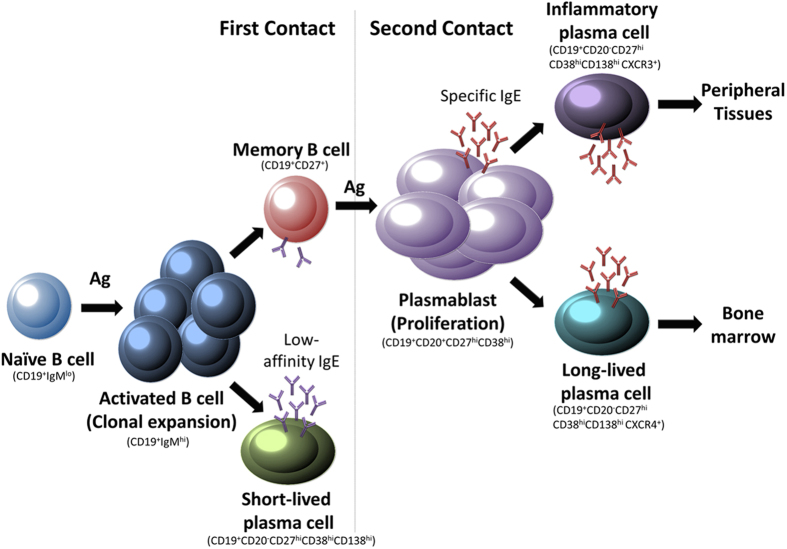 Proposed model representing the B cell subtypes involved in the development of the AR. In first contact, the allergen is presented to naïve B-cells; these activate and begin somatic hypermutation and class-switch recombination. Some of them become short-lived plasma-cells able to secrete low-affinity IgE as the first step of immunological protection. Another subset of activated B-cells becomes Memory B-cells. In successive contact with the allergen the memory B-cells differentiate into plasmablast that are able to secrete spIgE and proliferate, differentiating into: Long-lived plasma-cells, that preferentially recirculate to Bone Marrow, and Inflammatory plasma-cells, that are recruited to the peripheral tissues and act as the real effector cells with the secretion of spIgE. This proposed model is based on our current knowledge of IgG responses.