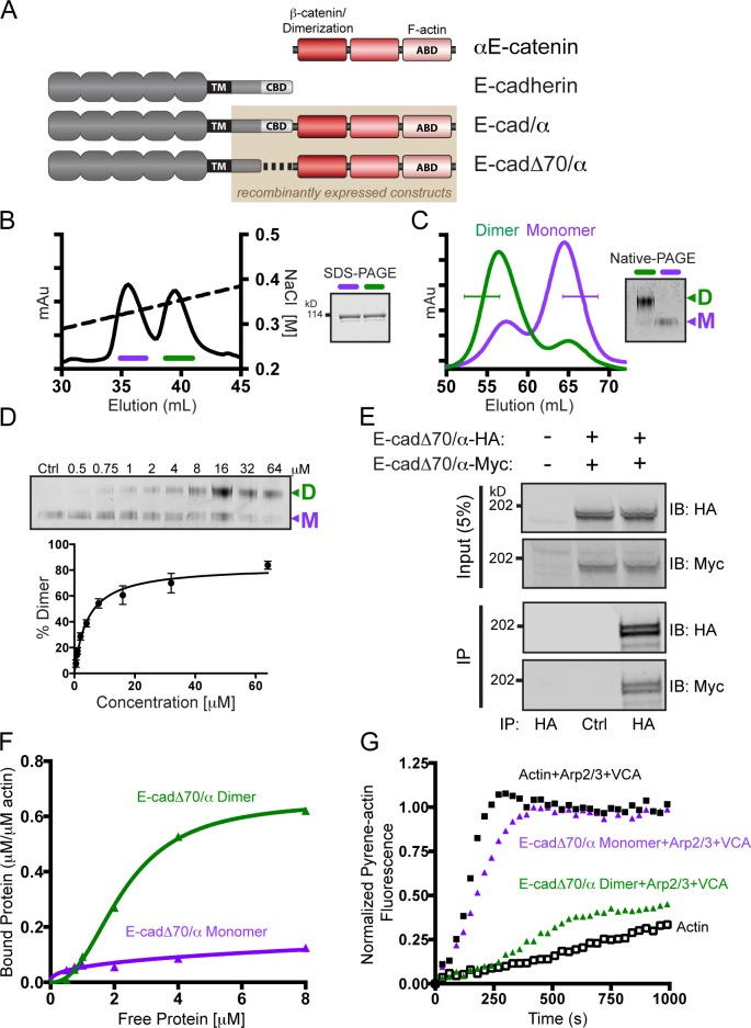 E-cadΔ70/α homodimerization is required for robust interaction with F-actin. (A) Schematic representation of the E-cadherin/αE-catenin chimeras. CBD, β-catenin-binding domain. (B) Ion exchange chromatography (IEC) of recombinant E-cadΔ70/α, and SDS-PAGE of protein from the resulting two peaks (fractions indicated in purple and green) stained with Coomassie Brilliant Blue (CBB). (C) Superdex 200 size exclusion chromatography of the two peaks from the IEC shown in B. Fractions indicated with a bracket were pooled and analyzed by Native-PAGE, and stained with CBB. (D) CBB stained Native-PAGE of increasing concentrations of monomeric E-cadΔ70/α chimera incubated for 16 h at 37°C. Ctrl, purified monomeric chimera. Quantification of the percentage of dimerization with standard deviation from three independent experiments. (E) Coimmunoprecipitation of Myc-tagged E-cadΔ70/α with HA-tagged E-cadΔ70/α from transfected L cells. Immunoprecipitated proteins were separated by SDS-PAGE and immunoblotted for HA and Myc. A representative image of three independent experiments is shown. (F) High-speed co-sedimentation of F-actin with E-cadΔ70/α monomer (purple) or homodimer (green). The data shown are from a single representative experiment out of three independent experiments. (G) Pyrene–actin polymerization assay with 10% pyrene–actin (white), with Arp2/3 complex and WASp-VCA (black), and either 8 µM E-cadΔ70/α homodimer (green) or monomer (purple). The data shown are from a single representative experiment out of three independent experiments.